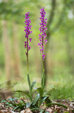 Early purple orchid Orchis mascula plants in woodland stock image