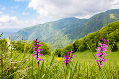 Early-purple orchid on spring mountain meadow Royalty Free Stock Photos