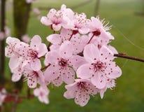 Early sakura blooming season Stock Image