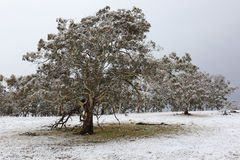 Early season snowfall. Light snow dusting the trees and ground after an overnight early winter snowfall Royalty Free Stock Image