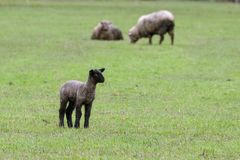 New Lamb in an Oregon Field royalty free stock photography