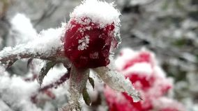 Early snow fall on roses. Early winter snow fall on red roses in garden stock video