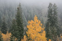 Early snow and fog in fall #3. Fall scene in utah with fog and color from aspens and early snow on the pines as the clouds blow away and reveals the snow Royalty Free Stock Photos