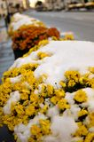 Early snow on marigolds. Yellow marigold (calendula) flowers in a streetside flower pot covered with early snow royalty free stock photography
