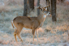 Early snow in Texas with whitetail buck Royalty Free Stock Image