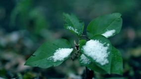 Early snow on the tree. Frosted green leaves. Close up video. Early snow on the tree. Frosted green leaves. Close up shot stock video footage