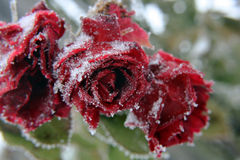 Early snowfall in autumn. With an early snowfall in autumn the roses freeze to death Royalty Free Stock Image