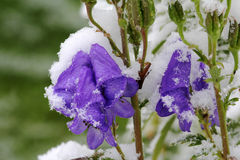 Early snowfall in autumn. With an early snowfall in autumn the flowers freeze to death Royalty Free Stock Photos