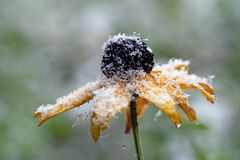 Early snowfall in autumn Royalty Free Stock Photo