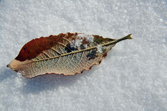 Early snowfall in autumn. With an early snowfall in autumn the sheets lie in the snow Royalty Free Stock Image