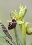 Early Spider Orchid Royalty Free Stock Photography