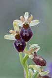 Early Spider-orchid / Spinnen-Ragwurz / Ophrys sphegodes Royalty Free Stock Photography