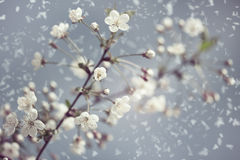 Early Spring. Abstract natural backgrounds with blossom snowy apricot flowers Royalty Free Stock Photos