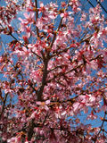 Early Spring Arrival Royalty Free Stock Image