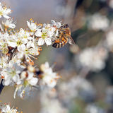 Early spring - bee in white blackthorn blossom. Prunus spinosa. Royalty Free Stock Photo