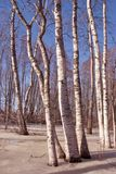 Early spring in birch forest Stock Photography