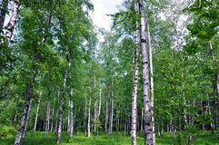 Early spring birch forest Stock Images
