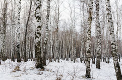Early spring in a birch forest Royalty Free Stock Image