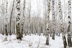 Early spring in a birch forest Royalty Free Stock Images