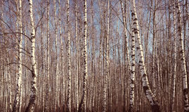 Early spring birch grove with Instagram style filter Royalty Free Stock Images