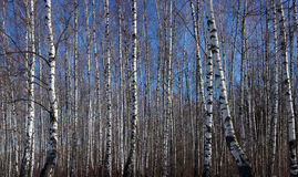 Early spring birch grove Stock Photography