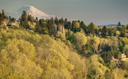 Sunset Illuminates Mount Rainier and Spring Foliage in Discovery. The Early Spring Bloom at Discovery Park in Seattle Burns a Golden Glow at Sunet with Mount Royalty Free Stock Photography