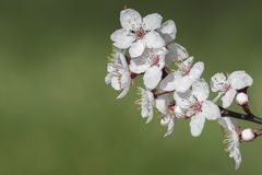 Early spring blossom on a green background Royalty Free Stock Photo