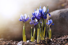 Early spring blue irises in the sun Royalty Free Stock Photos