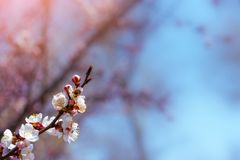 Flowering apricot spring flowers Royalty Free Stock Photos