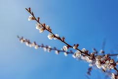 Flowering apricot spring flowers Royalty Free Stock Photography