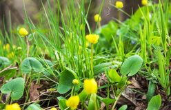 Early spring. Brightly yellow first flowers and luscious green grass. Early spring. Bright yellow first flowers and juicy green grass. Warm, sunny day Stock Photos