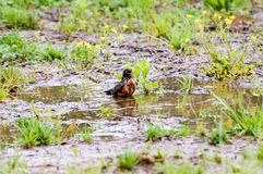 Robin Taking a Birdbath in Franklin; Tennessee. Early Spring brings with it birds, flowers, and rain.  On this wet Spring morning, a robin takes a birdbath in a Stock Images