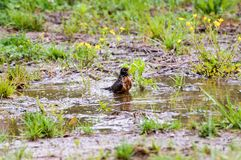 Robin Taking a Birdbath in Franklin; Tennessee. Early Spring brings with it birds, flowers, and rain.  On this wet Spring morning, a robin takes a birdbath in a Stock Image