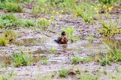 Robin Taking a Birdbath in Franklin; Tennessee. Early Spring brings with it birds, flowers, and rain.  On this wet Spring morning, a robin takes a birdbath in a Stock Photos