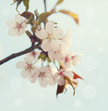 Early spring cherry blossom Stock Photography