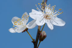 Early spring cherry flower Stock Photos