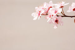 Early spring cherry flowers. Stock Image