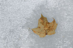 Early spring close view: last year's maple leaf in the thawed Royalty Free Stock Photo