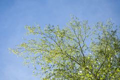 Early spring with closeup of first fresh green leaves of birch tree branches in sunlight on blue sky background. Early spring in sunny forest with closeup of stock photography