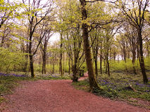 Early spring color in English Woodland Royalty Free Stock Photography