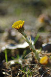 Early Spring Coltsfoot Flower