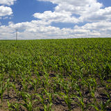 Early spring cornfield Stock Photography