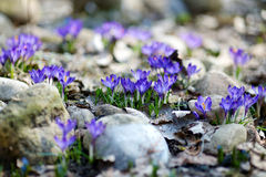 Early spring crocus flowers Stock Photo
