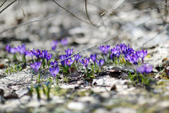 Early spring crocus flowers Stock Images