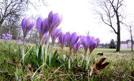 Early spring crocus in a park Stock Photos