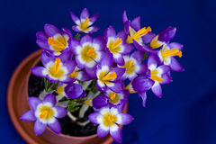 Early spring Crocus in the pot Stock Image