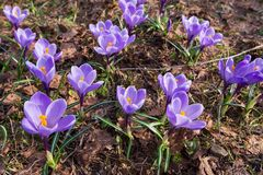 Early spring Crocus vernus Remembrance. Early spring crocuses, Crocus vernus Remembrance, in the garden floor stock images