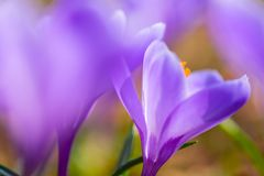 Early spring Crocus vernus Remembrance. Early spring crocuses, Crocus vernus Remembrance, in the garden floor royalty free stock photo