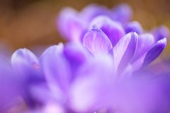 Early spring Crocus vernus Remembrance. Early spring crocuses, Crocus vernus Remembrance, in the garden floor royalty free stock image