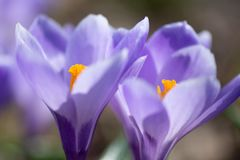 Early spring Crocus vernus Remembrance. Early spring crocuses, Crocus vernus Remembrance, in the garden floor royalty free stock photography
